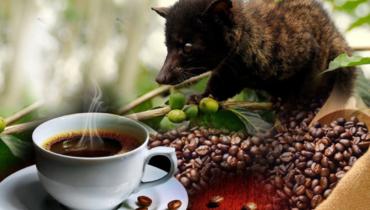 illustrate kopi luwak production process