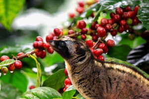 illustrate civet eating kopi luwak coffee beans