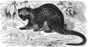 hand drawing of asian palm civet cat, responsible for cat poop coffee