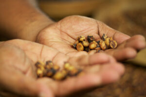 visualize freshly picked kopi luwak droppings