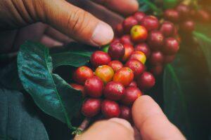 image; closeup of coffee cherries on the vine