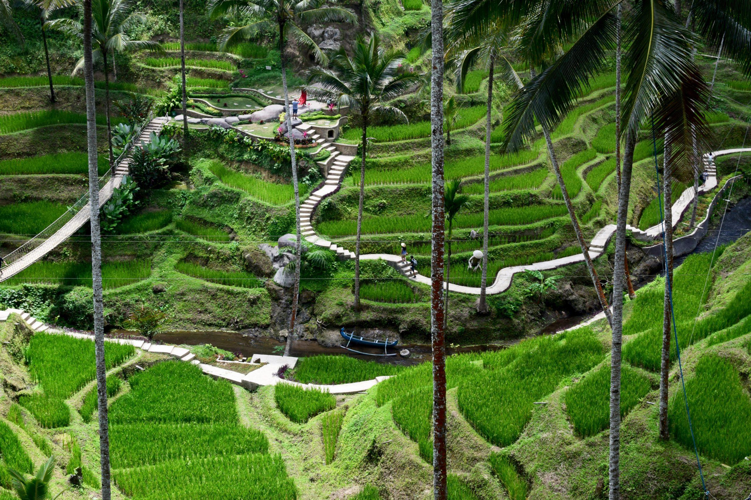 kopi luwak plantation Indonesia